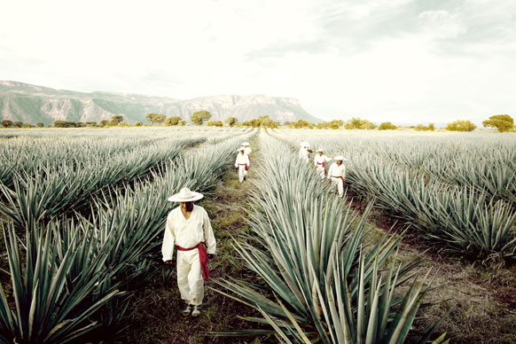 Workers in a field of agave at a Brown-Forman location